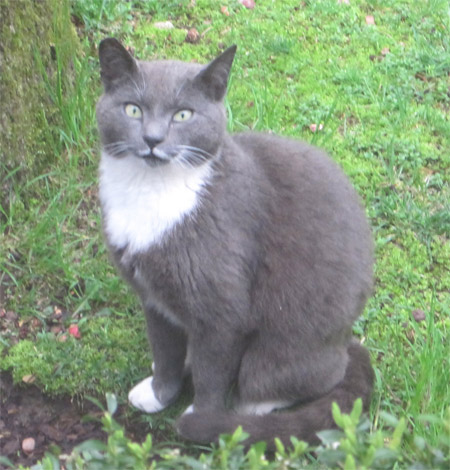 Gray Cat With White Chest And Paws Breed